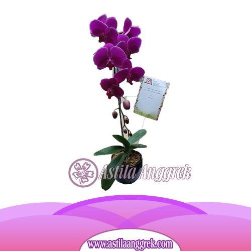 anggrek ungu 1 untai-2