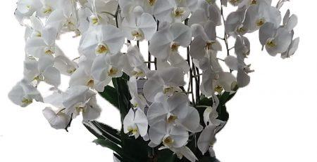 Toko Bunga Anggrek Online Harga Termurah