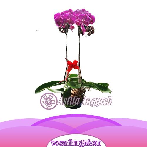 Bunga Anggrek Bulan AS AGR-004