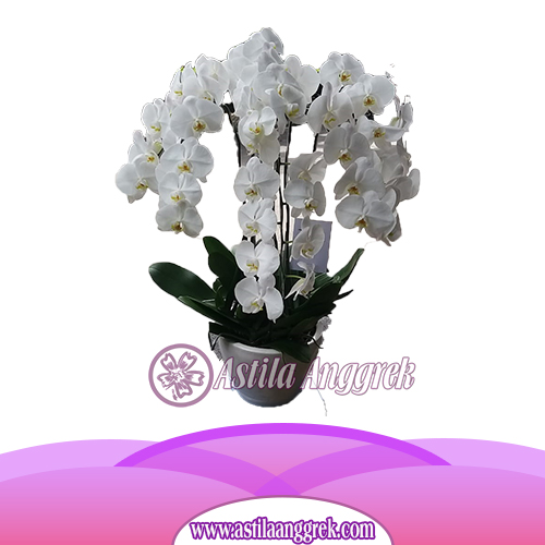 Bunga Anggrek Bulan AS AGR-006