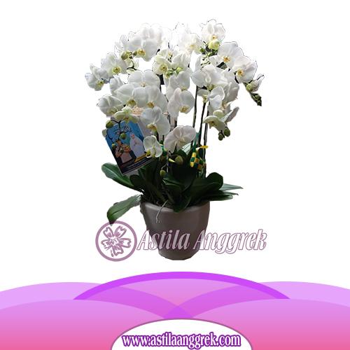 Bunga Anggrek Bulan AS AGR-007