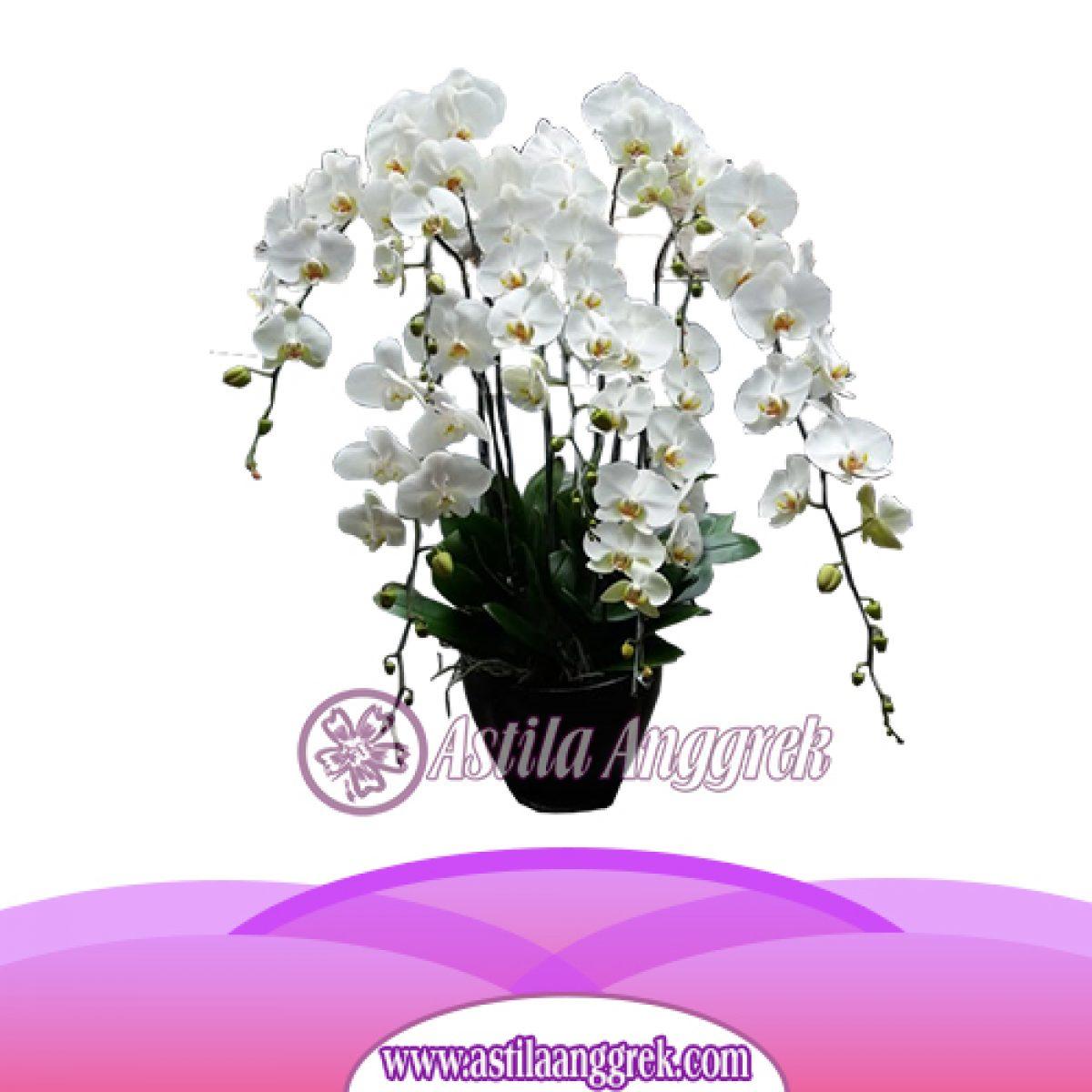Jual Bunga Anggrek Bulan As Agr 009 Toko Bunga Anggrek