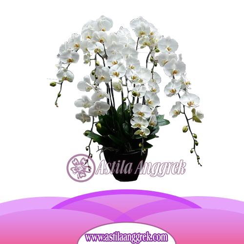 Bunga Anggrek Bulan AS AGR-009