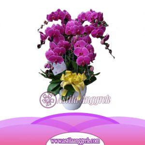 Bunga Anggrek Bulan AS AGR-014