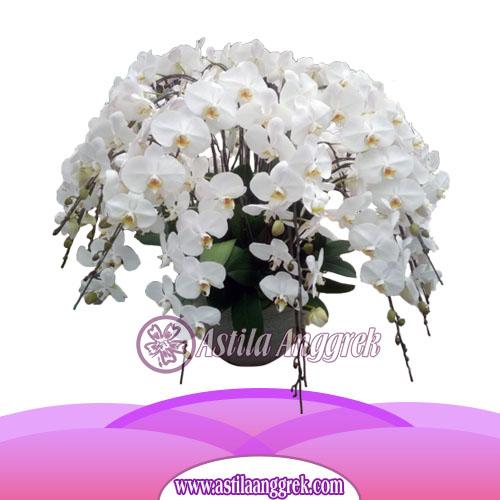 Bunga Anggrek Bulan AS AGR-028