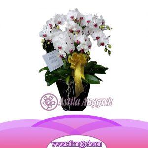 Bunga Anggrek Bulan Novelty AS AGR-012